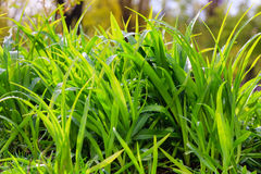 Fresh dew on a green grass closeup Royalty Free Stock Photography