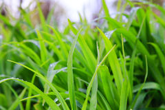 Fresh dew on a green grass closeup Stock Images