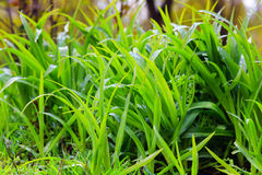 Fresh dew on a green grass closeup Royalty Free Stock Photos