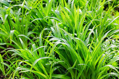 Fresh dew on a green grass closeup Royalty Free Stock Photo