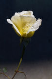 Fresh dew yellow rose. Beautifully lit yellow friendship rose with dew drops Stock Photos