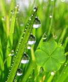 Fresh dewy green grass. With clover leaf Stock Photography