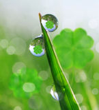 Fresh dewy green grass with clover leaf. Royalty Free Stock Photos