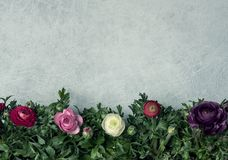 Fresh different color ranunculus. Bouquet over table background with copy space royalty free stock photo