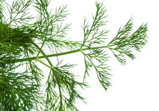 Fresh dill. Fresh green dill close up Stock Photos