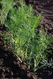 Fresh dill the beds in the garden. Vitamins Royalty Free Stock Photography