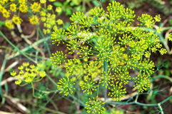 Fresh dill blooming. In the garden Stock Photo