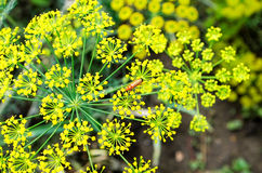 Fresh dill blooming. In the garden Royalty Free Stock Photos