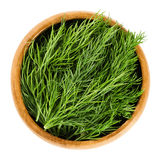 Fresh dill fronds in wooden bowl, also dill weed. Fresh dill fronds in wooden bowl, also called dill weed. Green leaves of the annual Anethum graveolens, used as stock image