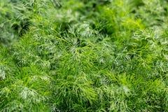 Fresh dill green Stock Photo