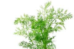 Fresh dill herb royalty free stock photo