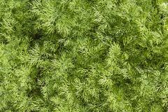 Fresh dill herb close up. Stock Photo