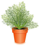 Fresh Dill Herb in a Flower Pot. Thin, needle-like aromatic leaves used in seasoning foods and especially pickles. Also called Dill weed Royalty Free Stock Image