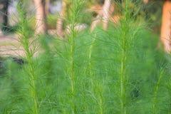 Fresh dill herb Stock Photo