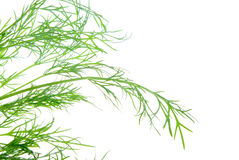 Fresh dill herb isolated .close up Royalty Free Stock Photography