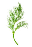 Fresh dill herb leaf. food ingredient Stock Images