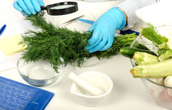 Fresh dill inspected in phytocontrol laboratory Royalty Free Stock Photography