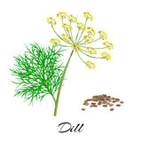 Fresh dill isolated on white background. Vector illustration. Stock Image