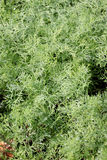 Fresh dill leaf. Royalty Free Stock Image
