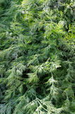 Fresh dill in market Royalty Free Stock Images
