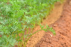 Fresh dill plant in a farm. Dill in a tilled and plowed field Stock Images