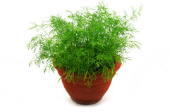 Fresh dill in the pot Royalty Free Stock Image