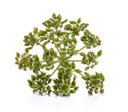 Fresh dill seeds on white background Royalty Free Stock Images