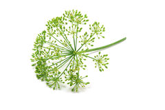 Fresh dill sprig with seeds Stock Photo
