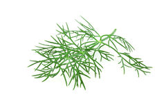 Fresh dill twigs Stock Photo