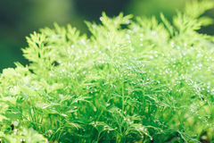 Fresh dill with water drops Royalty Free Stock Image