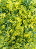 Fresh dill weed on display Royalty Free Stock Photography