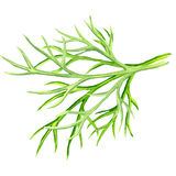 Fresh dill on white background. Fresh dill isolated, watercolor painting on white background Stock Photography