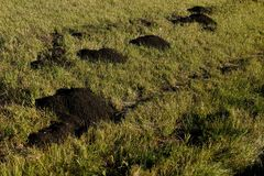 Fresh dirt mounds from pocket gophers tunneling. Fresh mounds from the digging and tunneling of pocket gophers Royalty Free Stock Images