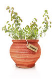 Fresh dittany plant Stock Photos