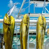 Fresh dolphin fish. Freshly caught Atlantic dolphin fish at a marina in the Florida Keys stock photo