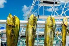 Fresh dolphin fish. Freshly caught Atlantic dolphin fish at a marina in the Florida Keys royalty free stock images