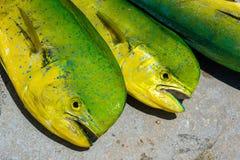 Fresh dolphin fish. Freshly caught Atlantic dolphin fish at a marina in the Florida Keys stock photos
