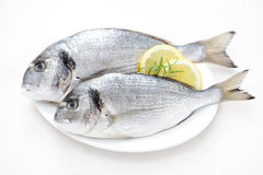 Fresh dorada Stock Image