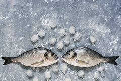 Fresh Dorado fish on a gray background with ice, top view. Two raw fish look at each other. Copy space. Fresh Dorado fish on a gray background with ice, top Stock Photos