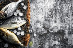 Fresh Dorado fish with ice cubes. On a rustic background Stock Photos