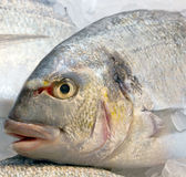 Fresh dorado fish on ice Royalty Free Stock Photography