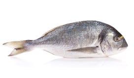 Fresh dorado fish. Isolated on white background Stock Photos