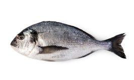 Fresh dorado fish. Isolated on white background Royalty Free Stock Image