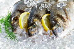 Fresh dorado in ice Royalty Free Stock Images