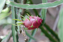 Fresh dragon fruit. Royalty Free Stock Photography