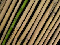 Fresh and Dried Bamboo Royalty Free Stock Photos
