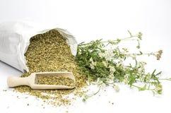 Fresh and dried common yarrow Stock Photo