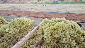 Fresh And Dried Grapes. Royalty Free Stock Photo