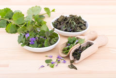 Fresh and dried ground ivy Stock Image