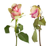 Fresh and dried rose Royalty Free Stock Images
